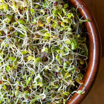 Kale Sprouting Seeds