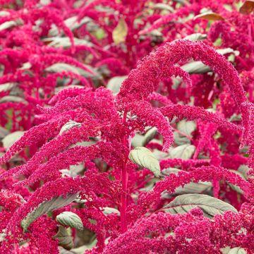 Garnet Red Amaranth Flowers