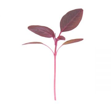 Garnet Red Amaranth Microgreens