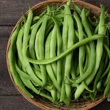Magnum Bush Bean