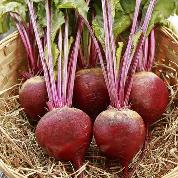 Red Ace F1 Beet - Pelleted