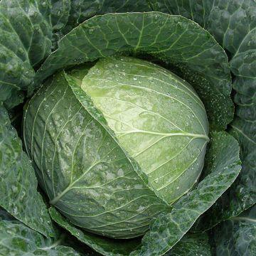 Stanton F1 Cabbage