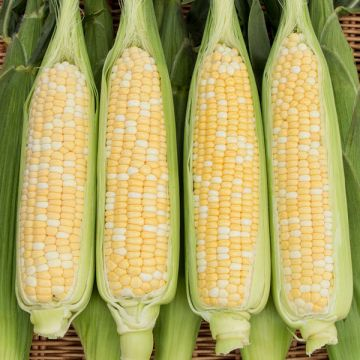 Natural Sweet XR F1 Sweet Corn
