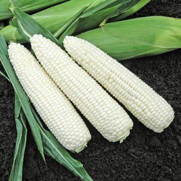 Natural Bright XR F1 Sweet Corn