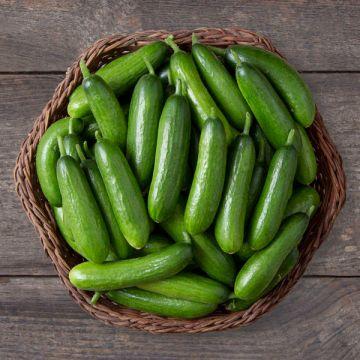 Minime F1 Cucumber