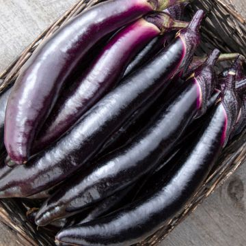 Shikou F1 Eggplant
