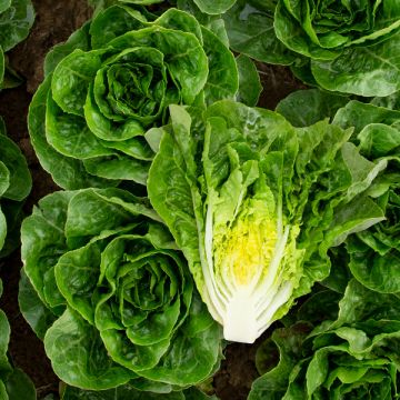 Xalbadora Lettuce - Pelleted