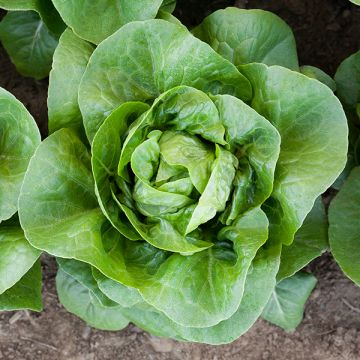 Newham Lettuce - Pelleted