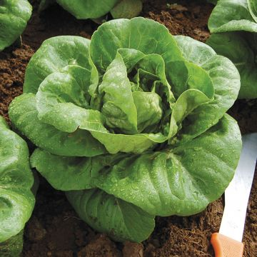 Organic Non-GMO Spretnak Lettuce Pelleted.jpg