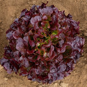 Bellevue Lettuce - Pelleted