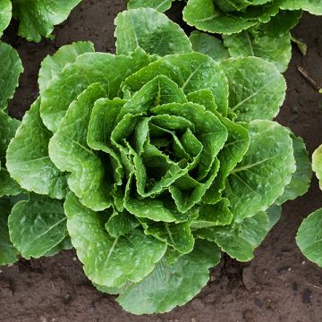 Organic Non-GMO Arroyo Lettuce Pelleted.jpg