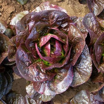 Truchas Lettuce - Pelleted