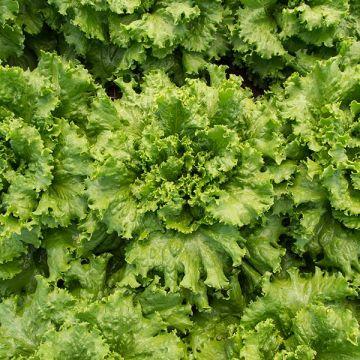 Tropicana Lettuce