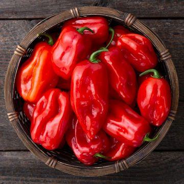 Primero Red F1 Habanero Pepper