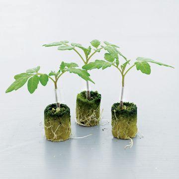 Fortamino F1 Rootstock Tomato