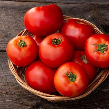 Galahad F1 Tomato