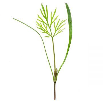 Dill Microgreens