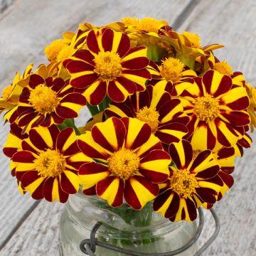 Pinwheel Marigold