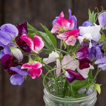Garden Scented Sweet Pea Flowers