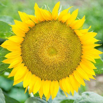 Winter Ora F1 Sunflower