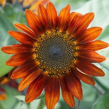 Medium Red Sunflower