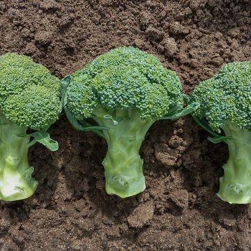 Covina F1 Broccoli