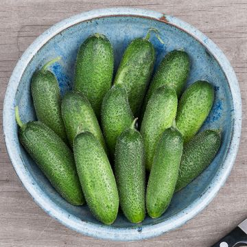 Organic Non-GMO Adam F1 Gherkin Cucumber
