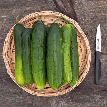 DMR 401 Cucumber