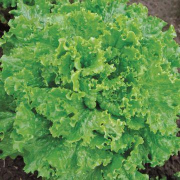Bergam's Green - Pelleted