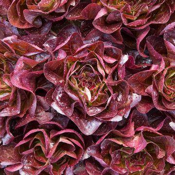 Stanford Lettuce - Pelleted
