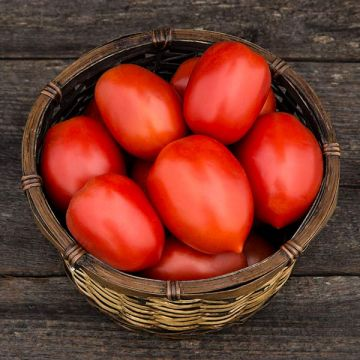 Plum Perfect F1 Paste Tomato