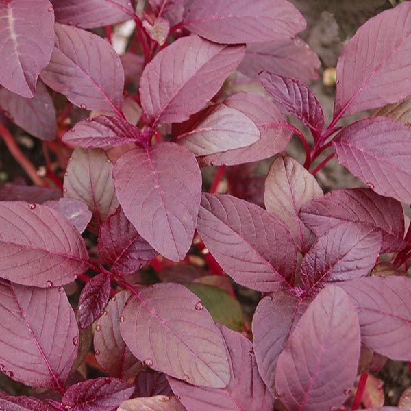 Garnet Red Amaranth Greens