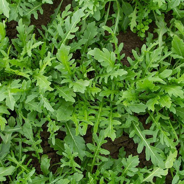 Organic Non-GMO Bellezia Arugula