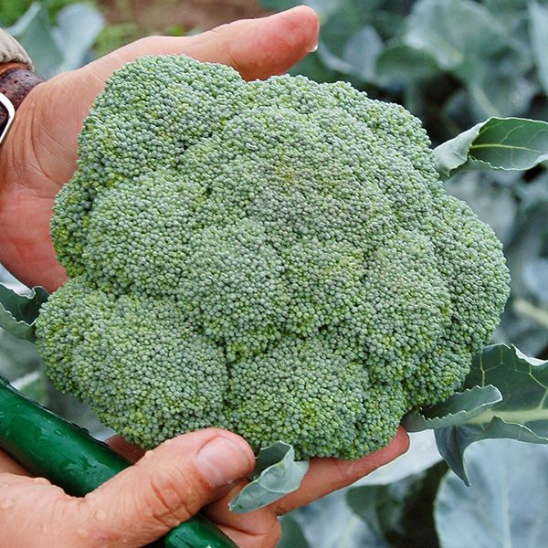 Belstar F1 Broccoli