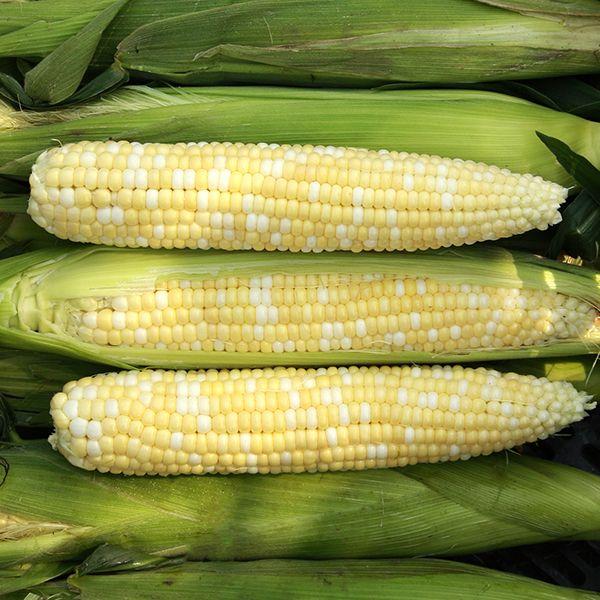 Allure F1 Sweet Corn
