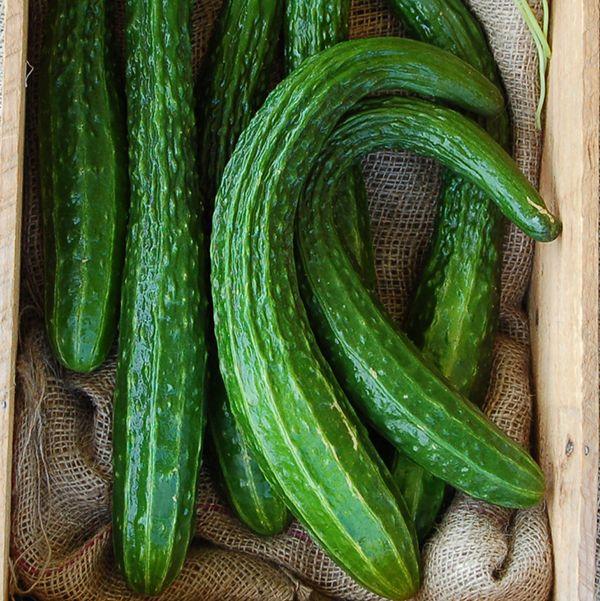 Suyo Long Cucumber