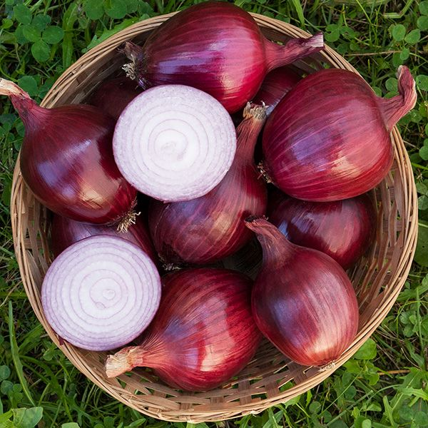 Red Carpet F1 Onion