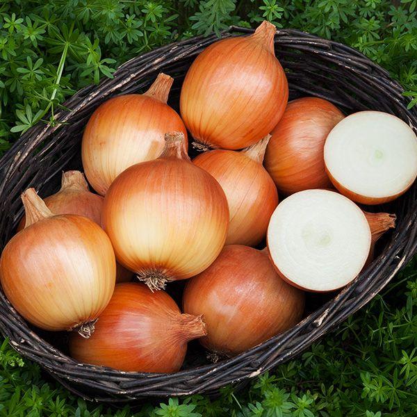 Cortland F1 Onion