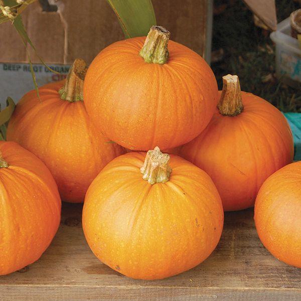 New England Pie Pumpkin