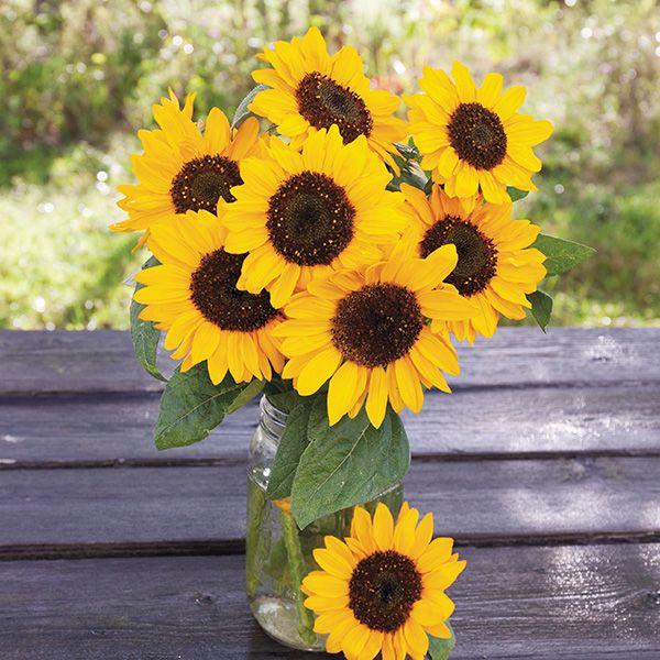 Hella Sonnenblume Sunflower
