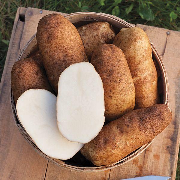 Organic Non-GMO Burbank Russet Potato