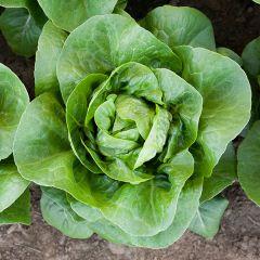 Newham Lettuce - Pelleted