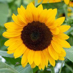 Golden Ray F1 Sunflower