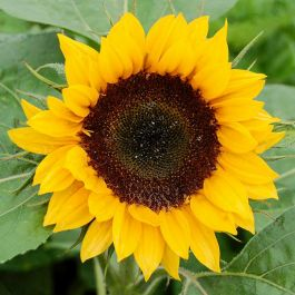 Organic Non-GMO Zohar F1 Sunflower