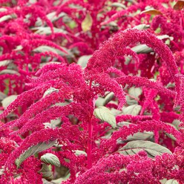 Garnet Red Amaranth Flowers