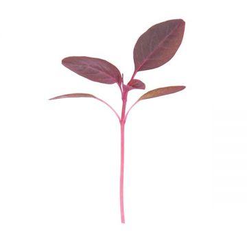 Garnet Red Amaranth Microgreens