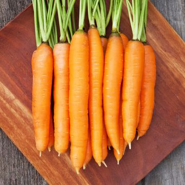 Organic Non-GMO Dolciva Carrot Pelleted.jpg