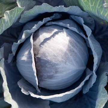 Travero F1 Cabbage