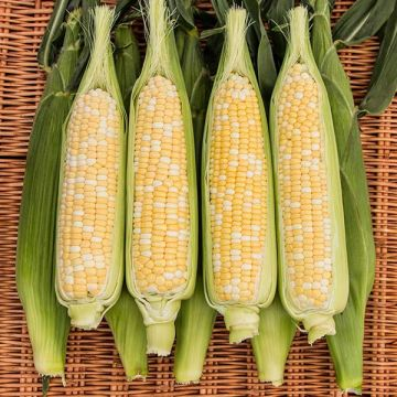 Natural Sweet XR F1 Sweet Corn