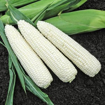 Natural Bright XR F1 Sweet Corn